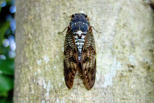 会員限定「世界のニュースから」第17号 ~What's a Japanese summer without the noisy cicada?~
